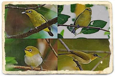 Burung Kacamata